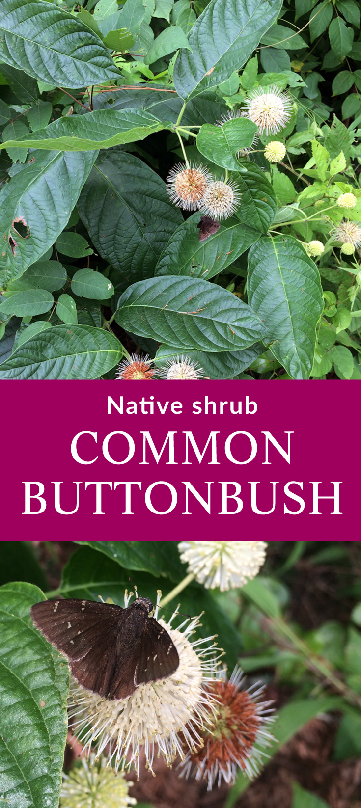 Buttonbush - native plant (Cephalanthus occidentalis). Buttonbush is perfect for planting in those spots of wet soil in your garden. The flowers are these cool balls of florets and attract bees and butterflies.