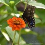 Female black swallowtail butterfly feeding on zinnia
