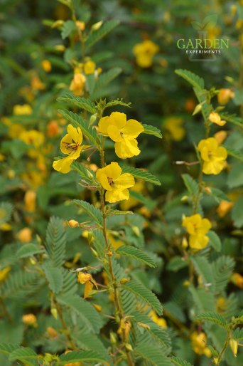 Partridge pea plants