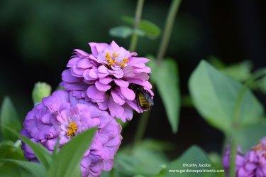 Bumble bee sleeping in the zinnia