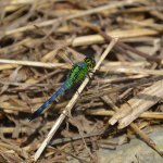 Dragonflies: Nature's Beautiful but Deadly Insect Predators