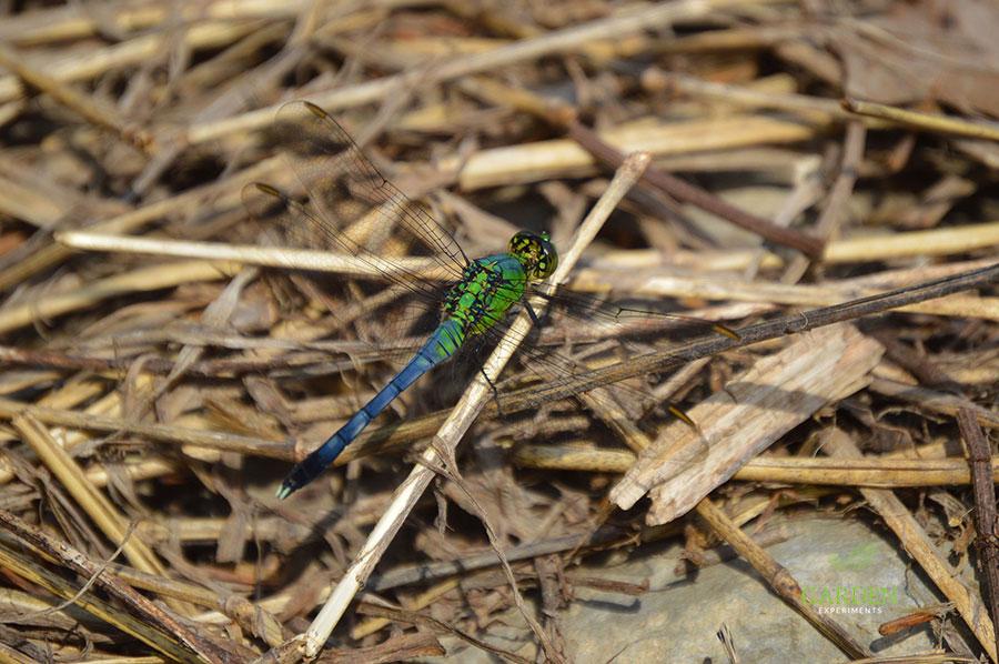 Common Green Darner Dragonfly (Anax junius)