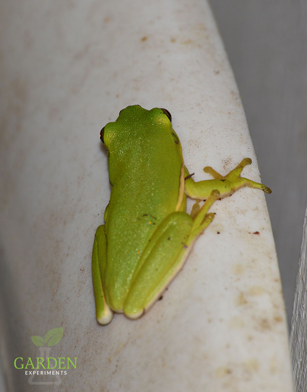 Green tree frogs -  they are found throughout the southeastern U.S., generally along the Coastal Plain. They are nocturnal and will be attracted to porch lights for feeding.