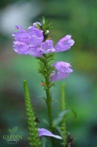Obedient plant