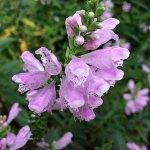 Obedient Plant - Physostegia virginiana
