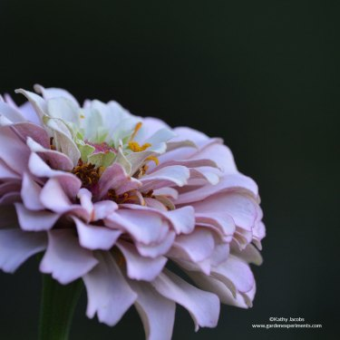 zinnia-contrast