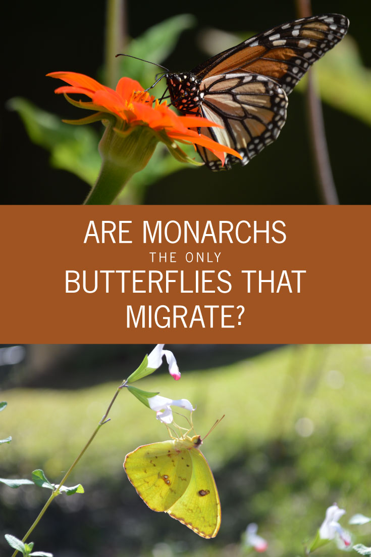 Are Monarchs the only Butterflies that Migrate? --- Most of us know the migration of the monarch butterfly, but did you know there are other butterflies that migrate each fall and spring?