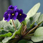 Brighten up Winter with These Five Indoor Flowering Plants