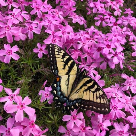 Eastern tiger swallowtail on creeping phlox