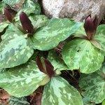 Trillium cuneatum - Sweet Betsy