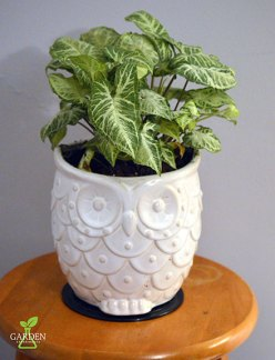 Arrowhead plant (Syngonium podophyllum) in an owl planter