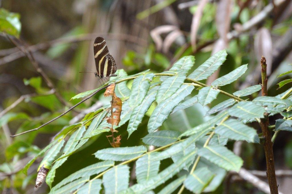 Zebra Heliconian Heliconius charithonia
