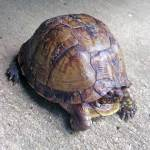 Box turtle on concrete