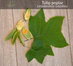 Tulip poplar tree flower and leaves