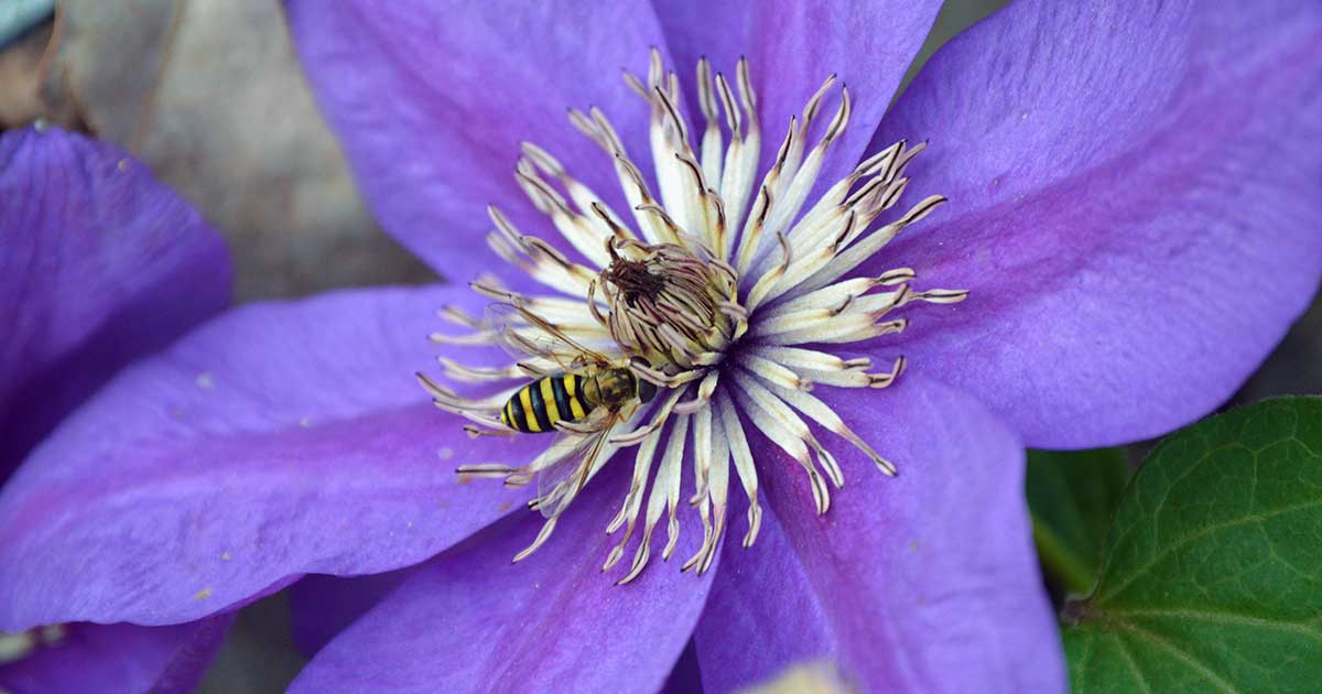 Hover Fly on a Purple Clematis Flower