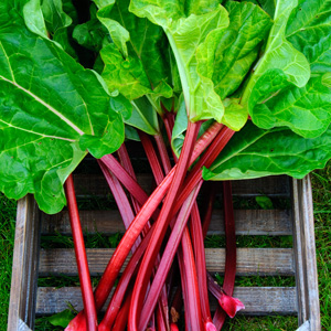 RHUBARB CHERRY RED  Garden Express