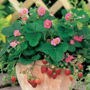 STRAWBERRY ROMAN PINK - Garden Express