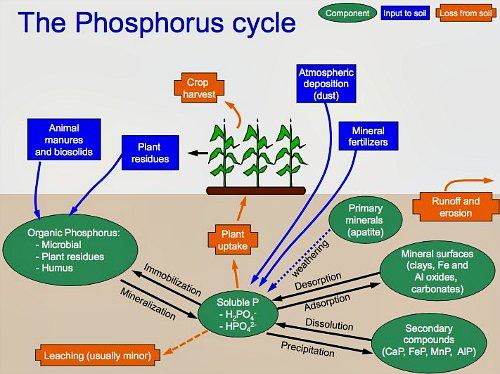 Fertilizer - plant nutrients - phosphorus cycle