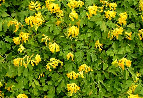 Pseudofumaria lutea (formerly Corydalis lutea), by Robert Pavlis