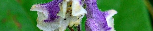 Aconitum alboviolaceum
