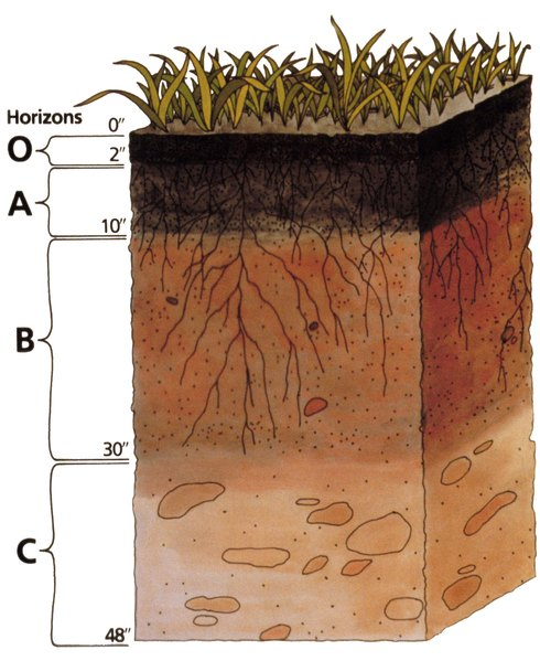 Planting trees - Soil profile showing top soil (layer O + A)