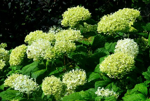 Hydrangea arborescens (smooth hydrangea), by Robert Pavlis, Hydrangea Identification