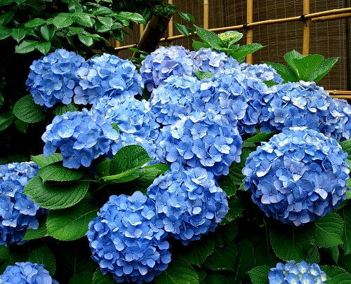 Hydrangea macrophylla blue bigleaf hydrangea, Hydrangea Identification