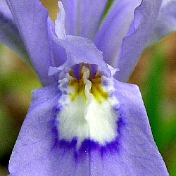 Iris crista showing the raised tissue known as a crest, iris identification