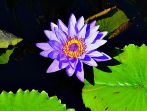 Tropical water lily, by Robert Pavlis