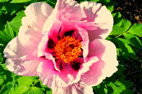 Paeonia rockii, pink form:photo by Robert Pavlis