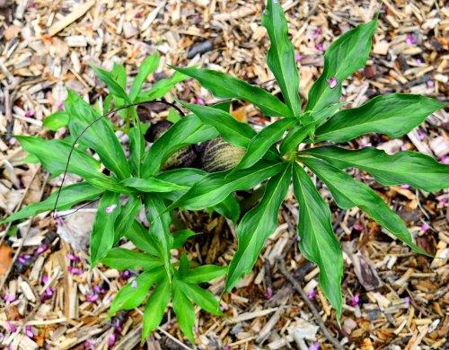 Arisaema thunbergii ssp. urashima, by Robert Pavlis