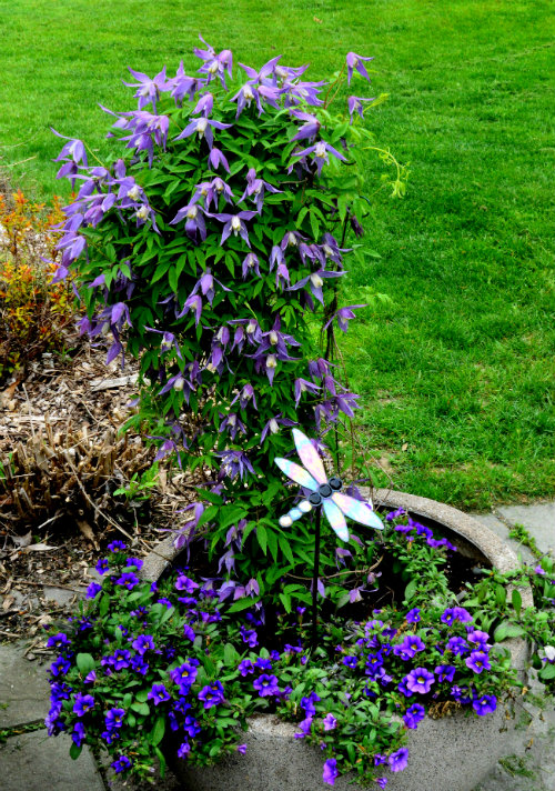 Clematis alpina in a planter, outside in zone 5 all year, by Robert Pavlis