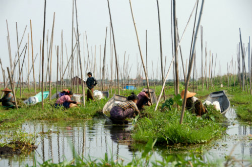Floating rafts used for food production at Inle Lake, Myanmar