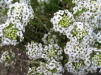 Alyssum 'Carpet of Snow' Seeds | Garden Hoard  Hand ...