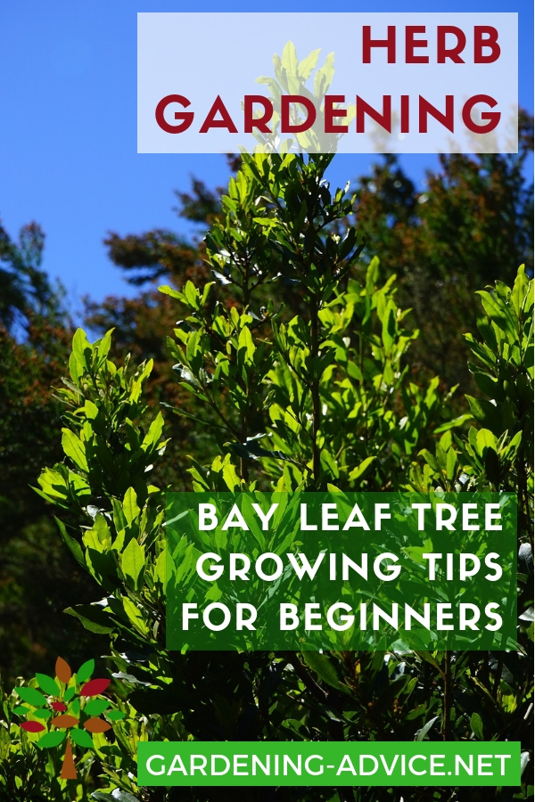 The Bay Leaf Plant How To Grow A Bay Leaf Tree As A Culinary Herb