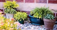 観葉植物シッサスの育て方インテリア術