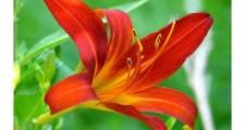 ガーデニングのユリの育て方ときれいに咲かせるためのコツ