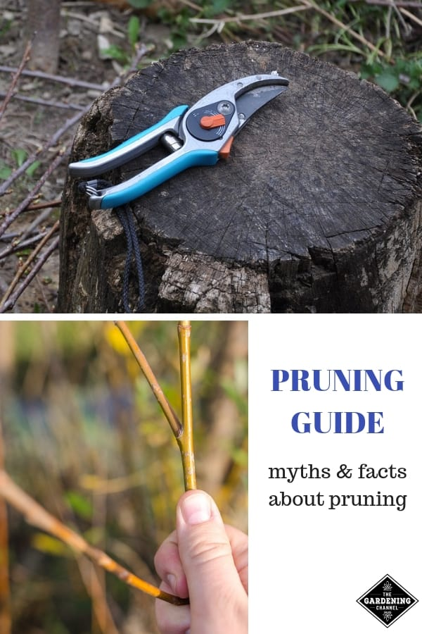 pruning shears and plant stem structure with text overlay pruning guide myths and facts about pruning
