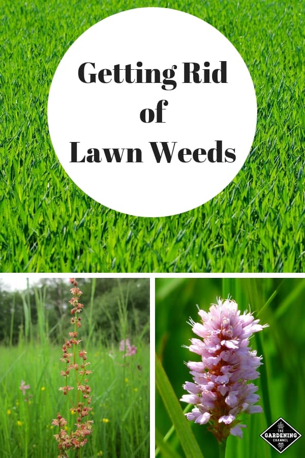 Getting Rid Of Lawn Weeds Gardening Channel