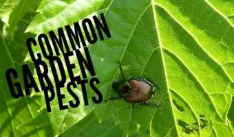 Common Pests Found in the Vegetable Garden