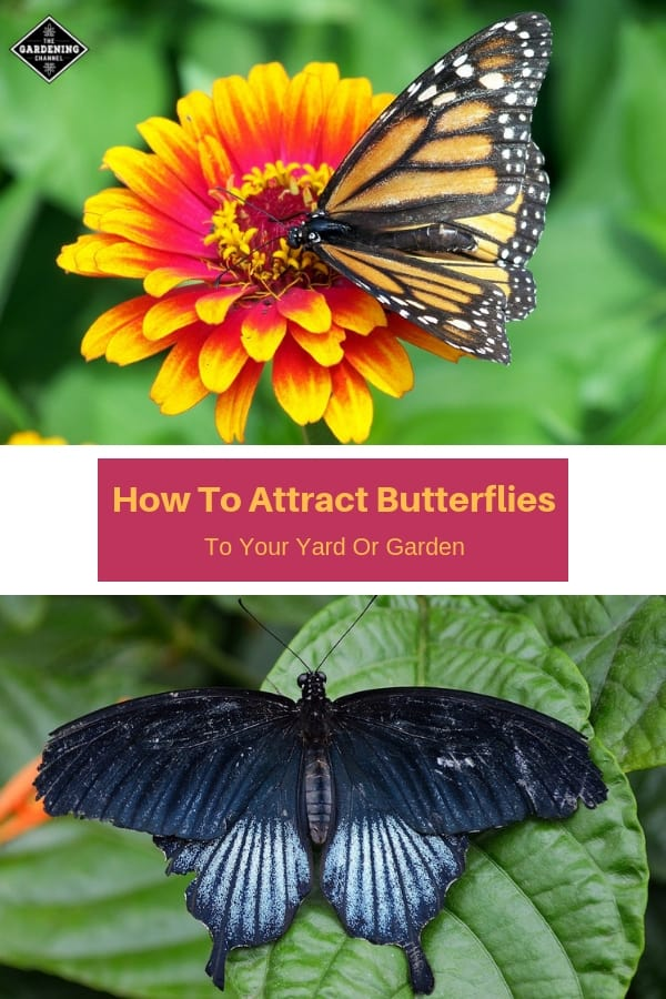 butterfly on flower and blue butterfly on leaf with text overlay how to attract butterflies to your yard and garden