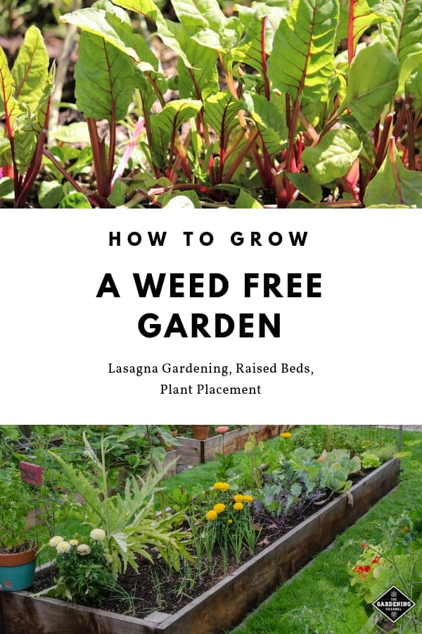 swiss chard in garden and raised beds with text overlay how to grow a weed free garden lasagna gardening raised beds and plant placement