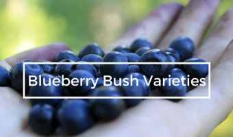 Planting Blueberry Bush Varieties