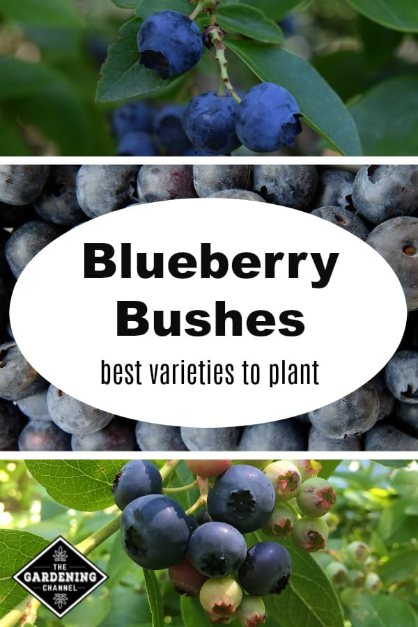 blueberries growing with text overlay blueberry bushes best varieties to plant