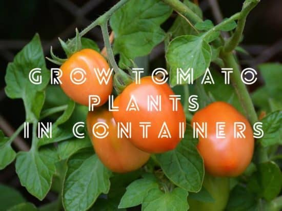 tomato growing in containers and pots