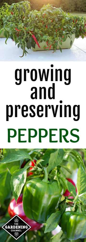 hot peppers growing in a container and bell peppers in the vegetable garden with text overlay growing and preserving peppers
