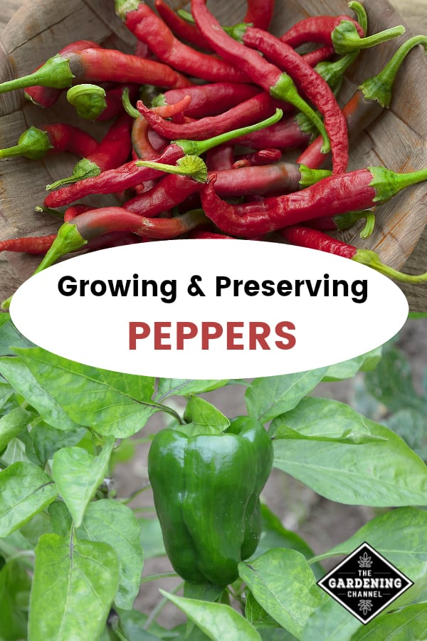 chili peppers and green bell peppers in garden with text overlay growing and preserving peppers