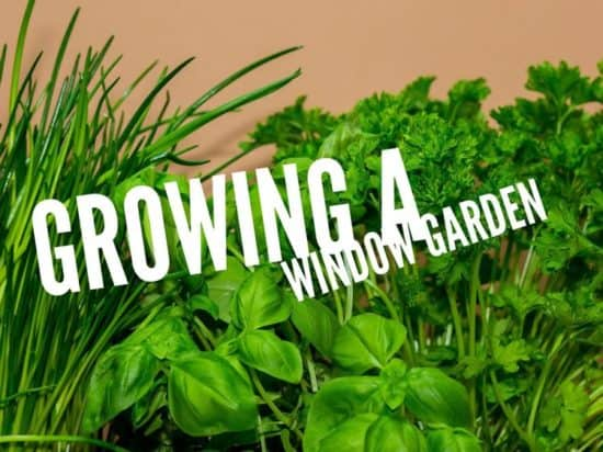 grow a kitchen counter garden