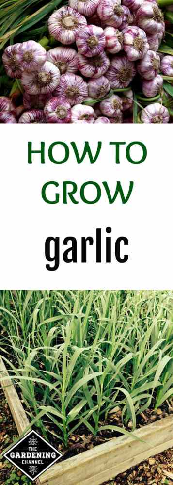 harvested garlic and garlic growing in vegetable bed with text overlay how to grow garlic