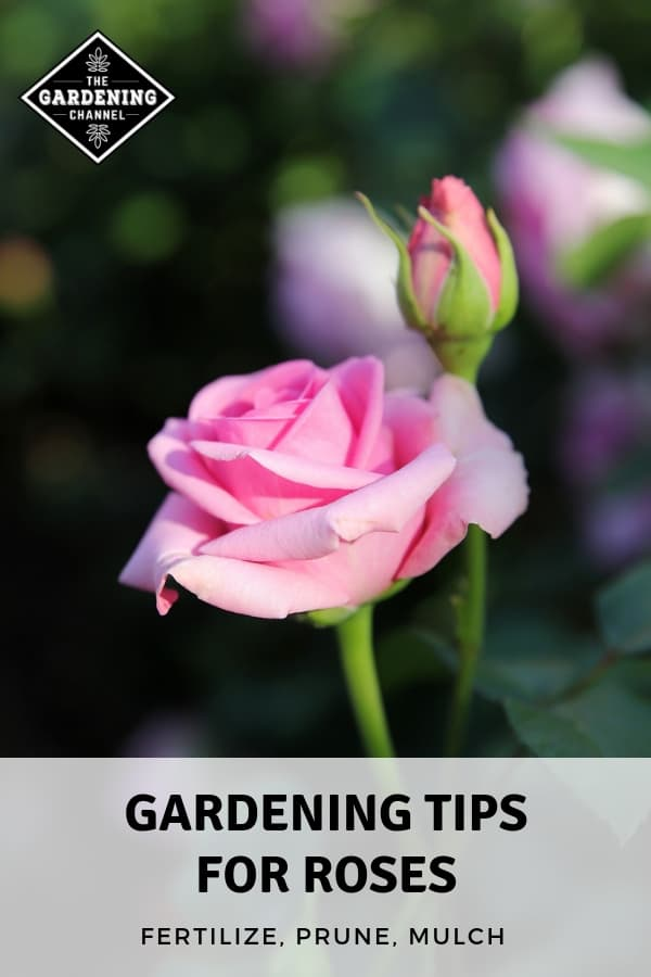 rose in garden with text overlay gardening tips for roses fertilize prune mulch